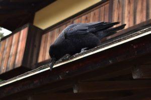 Krähe hält Ausschau