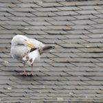 Seemöwe auf dem Dach