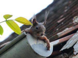 Eichhörnchen in Regenrinne