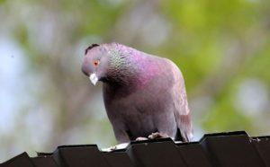 Vogel auf Metallblech-Dachdeckung