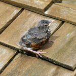 Vogel auf Dach mit Holzschindeldeckung